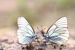 Witte vlinders op zand Stock Foto