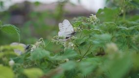Witte vlinderzitting op een kostan blad Koolwitje stock footage