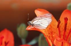 witte vlinderzitting op een oranje Leliebloemblaadje royalty-vrije stock afbeeldingen