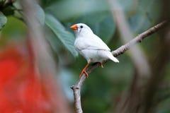 Witte Vogel Stock Afbeelding