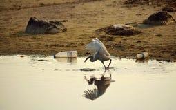 Witte vogel die in de kust vissen Stock Foto's