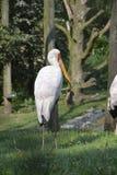 Witte vogel met gele bek Stock Afbeelding