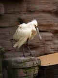 Witte vogel met grote bek Stock Afbeeldingen