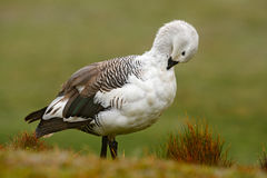 Witte vogel met lange hals Witte gans in het gras Witte vogel in het groene gras Gans in het Gras Wilde witte Hooglandgans, C Stock Afbeeldingen