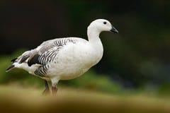 Witte vogel met lange hals Witte gans in het gras Witte vogel in het groene gras Gans in het Gras Wilde witte Hooglandgans, C Royalty-vrije Stock Foto