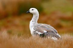 Witte vogel met lange hals Witte gans in het gras Witte vogel in het groene gras Gans in het Gras Wilde witte Hooglandgans, C Stock Foto