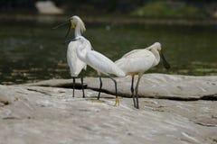 Witte vogels Royalty-vrije Stock Afbeeldingen