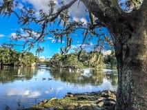 Witte vogels en eiken bomen stock fotografie