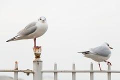 Witte vogelzeemeeuwen Royalty-vrije Stock Foto