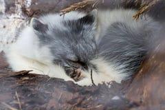 Witte vosslaap onder boom in het Nationale Park Canada van Auyuittuq Stock Fotografie