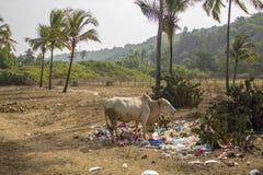 Witte vuile koe in een stapel van huisvuil en het eten van plastic zakken op een achtergrond van groene cactus en stock afbeeldingen