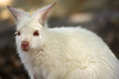 Witte wallaby stock foto