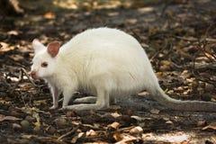 Witte wallaby royalty-vrije stock afbeeldingen