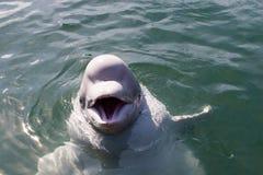 Witte walvis Stock Foto's
