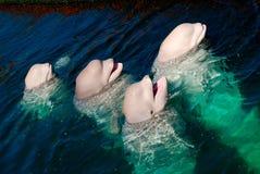 Witte walvis Stock Afbeelding