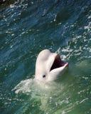 Witte walvis Royalty-vrije Stock Afbeelding
