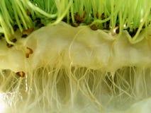 Witte waterkers - wortels stock fotografie