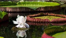 Witte Waterlelie Royalty-vrije Stock Fotografie