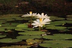 Witte Waterlelie Stock Afbeeldingen