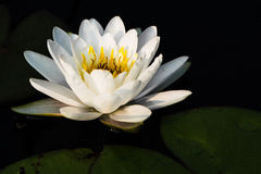 Witte Waterlelie Royalty-vrije Stock Foto's