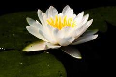Witte Waterlelie Stock Fotografie