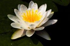 Witte Waterlelie Royalty-vrije Stock Afbeelding
