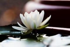 Witte Waterlelie Stock Afbeelding