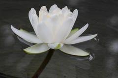 Witte Waterlelie Stock Foto's
