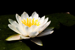 Witte Waterlelie Royalty-vrije Stock Afbeeldingen