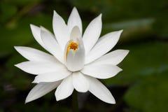 Witte waterlelie in vijver Royalty-vrije Stock Afbeeldingen