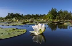 Witte waterlelie, White Water-lily, Nymphaea alba. Witte waterlelie, White Water-lily stock image