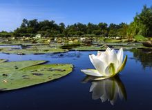 Witte waterlelie, White Water-lily, Nymphaea alba. Witte waterlelie, White Water-lily stock photography