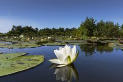 Witte waterlelie, White Water-lily, Nymphaea alba. Witte waterlelie, White Water-lily stock photo