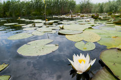 Witte Waterlily Stock Afbeelding