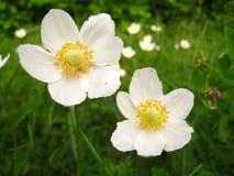 Witte weidebloemen royalty-vrije stock foto's