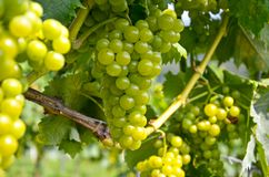 Witte wijn: Wijnstok met druiven vóór wijnoogst en oogst, Zuidelijk Stiermarken Oostenrijk royalty-vrije stock afbeeldingen