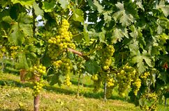 Witte wijn: Wijnstok met druiven vóór wijnoogst en oogst, Zuidelijk Stiermarken Oostenrijk Stock Foto's