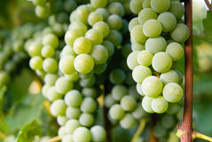 Witte wijndruiven Royalty-vrije Stock Foto's