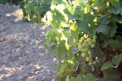 Witte wijndruiven Stock Afbeelding