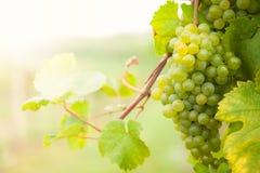Witte wijndruiven op wijngaard stock foto's