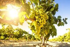 Witte wijndruiven in wijngaard stock foto