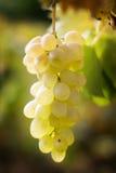 Witte wijnstok Stock Foto's
