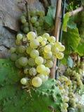 Witte wijnstok Stock Foto