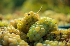 Witte wijnstokdruiven Gedetailleerde mening van wijnstokken in een wijngaard in de herfst royalty-vrije stock fotografie