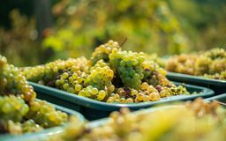 Witte wijnstokdruiven Gedetailleerde mening van wijnstokken in een wijngaard in de herfst stock foto's