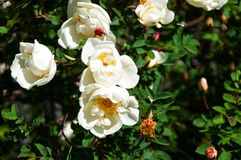 Witte wild nam in de tuin toe Royalty-vrije Stock Afbeelding