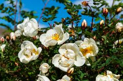 Witte wild nam in de tuin toe royalty-vrije stock foto