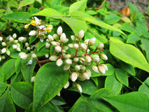 Witte wilde bloem Royalty-vrije Stock Foto's