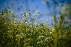 Witte wilde bloemen Stock Afbeeldingen
