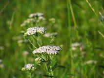 Witte wilde bloemen Stock Foto